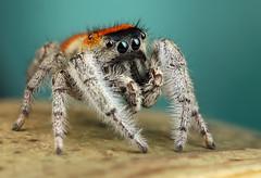 Male Phidippus whitmani (Andres Moline) Tags: phidippus whitmani spider jumper nature macro mpe natgeo