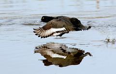 Maniac Tufty (Ger Bosma) Tags: 2mg168928filtered kuifeend aythyafuligula tuftedduck reiherente fuligulemorillon porrnmoudo moretta male duck flight takingoff takeoff running water lake