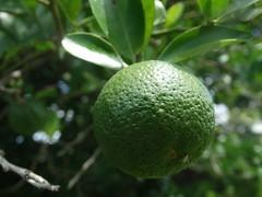 Mandarin (donnarees1) Tags: citrus green mandarin