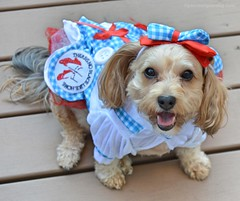 The Yorkipoo of Oz (yourdesignerdog) Tags: ifttt wordpress all posts wordless wednesday blog cute designer dogs dog costume dress hair bow smiling dorothy pets photography wizard oz