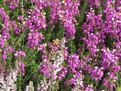 3251 Heather and gorse (Andy panomaniacanonymous) Tags: 20160808 cymru fff flowers ggg gorse heather hhh ling lll ppp purple southstackrspb ulexeuropaeus uuu wales yellow yyy