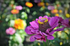 Farbtrume in meinem Garten (Uli He - Fotofee) Tags: ulrike ulrikehe uli ulihe ulrikehergert hergert nikon nikond90 garten blumen freude farbe