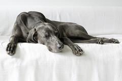 summer disco nap (VanaTulsi) Tags: vanatulsi weim weimaraner dog blueweim blueweimaraner