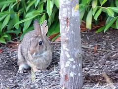 #8742 rabbit (ウサギ) (Nemo's great uncle) Tags: ウサギ 兎 rabbit surrey britishcolumbia bc canada カナダ