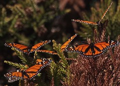 Monarchs warming in the early sun (mpp26) Tags: monarch butterfly warming morning sun park newzealand