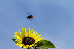 229 of 366 - Searching for the sun (Mark J Pearce) Tags: bee 3662016 yellow 366the2016edition 2016 sunflower 366project bluesky 366