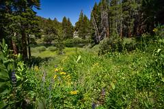 Sierra Nevada (nebulous 1) Tags: sierranevada mountains meadow lake trees bushes flowers sky blue clear nikon nebulous1 glene landscape nature coldwatercreek