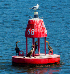 Gull Over Cormorants (Catskills Photography) Tags: birds gull cormorant animals hudsonriver water river canon70300mmllens