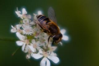 Hoverfly on umbellifer flowers
