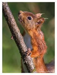 DS0D4496-Red-Squirrel,-sciurus-vulgaris (duncancooke.happydayz) Tags: red squirrel woodland wildlfe wildlife uk british cute animal animals mammals mammal native sciurus vulgaris photo border outdoor natue