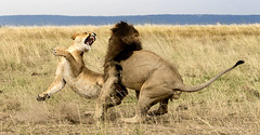 Not Now, Thank you.  Female Lion Reacts to Male Lion's Advance (John Hallam Images) Tags: now thank you female lion femalelion reacts male malelion advance mara masaimara kenya safari