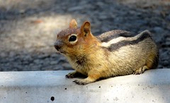 What will you give me? Golden-mantled ground squirrel (Callospermophilus lateralis), LaPine State Park, Oregon, Aug 2015 (Judith B. Gandy) Tags: callospermophilus squirrels animals mammals oregon rodents callospermophiluslateralis goldenmantledgroundsquirrels groundsquirrels lapinestatepark