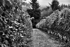 Looking Down a Rows of Vineyards at White Rose Estate Winery (Black & White) (thor_mark ) Tags: americanviticulturalarea blackwhite capturenx2edited cloudyskies colorefexpro day2 hillsides lookingsouth nature nikond800e project365 rowsofvineyards trees triptomountrainierandcolumbiarivergorge vineyards whiteroseestatewinery whiteroseestatewineryandvineyard willamettevalley willamettevalleyava or unitedstates