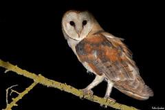 Barbagianni - Barn owl (Fabio Gardosi) Tags: barn owl barbagianni
