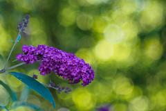 Lilac (Karsten Gieselmann) Tags: microfourthirds grn vintagelens schrfentiefe czjpancolar50mmf18 focusblending lila em5markii bokeh kgiesel dof farbe olympus color green m43 mft purple violett burglengenfeld bayern deutschland de