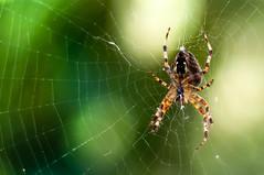 (smiler2002) Tags: webs spider