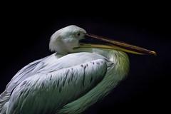 Pelican (tik_tok) Tags: singapore singaporezoo nightsafari asia animal bird pelican night