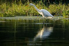 """""""Airone bianco maggiore"""" (Ardea alba) (Federico Prisco) Tags: nikon nature flickraward fly flickr fiumi esino jesi lemarche wildlife avifauna d7200 sigma"""