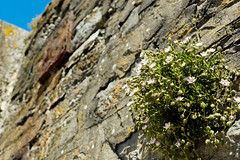 DSC_1830_DxO (jonathon lynam) Tags: white stonewall grass green blue flowers nikond40 nikon nikcollection nikonphotography 1855mm