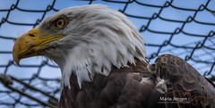 The Boss! (mariajensenphotography) Tags: animals wildlife eagles prey bald