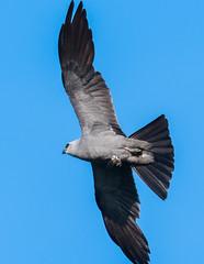 Mississippi Kite (VisualUniverse) Tags: colleyville texas unitedstates us mississippikite bird nikond500 nikon500mmf4efledvr nikontc14eiii