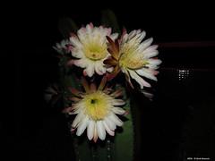 ER 160901 (40) (Paolo Bonassin) Tags: flowers cactaceae cactacee cactus succulente cereus cereusperuvianus