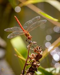 Common Darter (ABPhotosUK) Tags: animals anisoptera backlighting bokeh canon commondarter dartmoor devon dragonflies ef100400mmisii ef25mmextensiontube eos7dmarkii garden invertebrates odonata sympetrumstriolatum wildlife