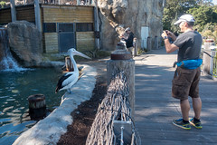 Pelicans at the Taronga Zoo in Sydney (Mister Bunny) Tags: australia sydney tarongazoo zoo mosman newsouthwales au pelican