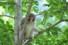 Japanese monkey (Makoto Naito) Tags: a photography place it is northernmost part japan