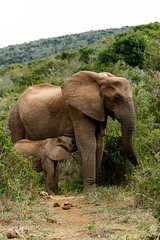Mom And Baby - African Bush Elephant (markdescande) Tags: addo portrait rhino safari herd bush water young south background animal female male wild wildlife reserve african sky park game tourism white photo five beautiful mammal landscape group endangered nature walking trunk natural national kenya africa conservation lion big together loxodonta elephant scenery kruger travel baby hole elephants large animals family africana wilderness tusk