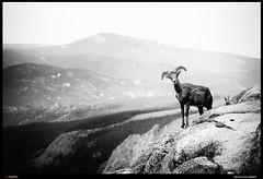 -3864_Mountain Sheep (trinrn7) Tags: animal colorado mtevans wildlife mountainsheep fujifilm xpro2 monochrome acros