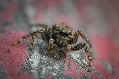Rindenspringspinne (Marpissa muscosa) - Mnnchen (AchimOWL) Tags: gx80 olympus panasonic lumix stack stacking makro macro natur nature spinne springspinne tier insekt animals insect wildlife schrfentiefe outdoor bokeh spider salticidae jumping webspinne araneae ngc postfocus