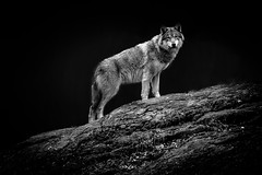 Wolf Stare (King Grecko) Tags: animal bw canine sweden usa wolf wolves black blackandwhite canada dog furnace nature white wild