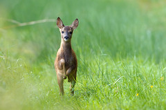 Like a Champ! (Lucky Lucas) Tags: nature jumping action wildlife ears running fawn gras roedeer jong d300 500mmf4