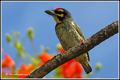 2395 - coppersmith barbet (chandrasekaran a 560k + views .Thanks to visits) Tags: india nature birds canon chennai coppersmith barbet thegalaxy powershotsx40