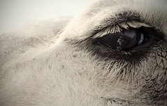Crystal Clear Reflection (Saleem Alsharari) Tags: reflection eye up animals eyes close s camel micro saudi arabia camels sakakah