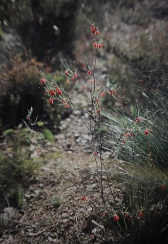 Grevillea sp. aff. fasciculata