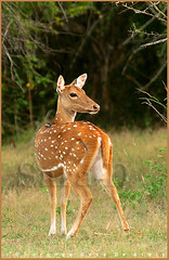 Watchful (Sara-D) Tags: nature animals forest nationalpark asia wildlife deer sl lanka jungle spotted srilanka ceylon lk axis yala wildanimals southasia sarad cervidae serendib spotteddeer yalanationalpark axisaxis saranga ruhununationalpark dealwis sarangadeva