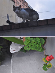 Pandigatos! (Nicolas A. Narvaez Polo) Tags: cats colombia bogota gatos whitecats servicioejecutivo gatosblancos nikond5000