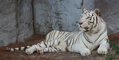 WHITE TIGER (canikon1998) Tags: park summer white night cat tampa zoo big florida tiger safari lowry 33604