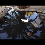 Ducks of Venice thumbnail