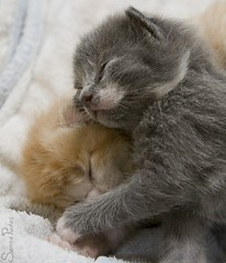 20110705_14727b (Fantasyfan.) Tags: sleeping pet cute animals topv111 furry topv333 adorable fluffy kittens together tired ontop fantasyfanin pelko unohdus highqualityanimals