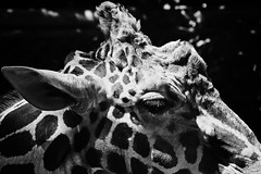 _SDI4686 (Kazu Sakai) Tags: blackandwhite bw animal animals blackwhite monotone 70300mm   merrill   sd1   sd1merrill