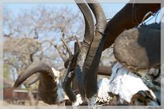Antlers (plucciola) Tags: southafrica sudafrica avventurenelmondo
