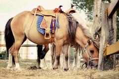 Como en el campo (Sol Z.B.) Tags: horse textura caballo country pony campo animales montura canon500d caballocomiendo