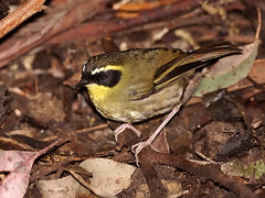 Yellow-throated Scrubwren (Sericornis citreogularis) (David Cook Wildlife Photography (kookr)) Tags: australia nsw sericorniscitreogularis yellowthroatedscrubwren kookr gibralterrangenationalpark sonysal70400g davidcookwildlifephotography sonyslta77v 2012davidcookwildlifephotographyallrightsreserved