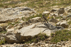 "American Pipit • <a style=""font-size:0.8em;"" href=""http://www.flickr.com/photos/63501323@N07/7890540182/"" target=""_blank"">View on Flickr</a>"