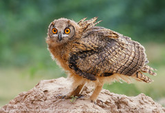 Rock Eagle Owl (Zahoor-Salmi) Tags: pakistan macro art nature animals trek canon photo tv google nikon flickr shot natural image action wildlife c watch fine pic national bbc punjab geographic wwf salmi brds discovry bhalwal zahoorsalmi panoramafotogrfico thewonderfulworldofbirds