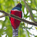 Collared Trogon (Ann & Walter Burns)