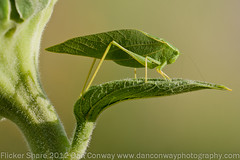 California Katydid - This is a Hit The Keyboard L Image (Dan W Conway - Moving) Tags: ngc photomix naturesfinest greatphotographers danconway prescottaz specanimal specanimalphotooftheday top20greenish mygearandme blinkagain greatestphotographers ultimatephotographers flickrsfinestimages1 flickrsfinestimages2 flickrsfinestimages3 unlimitedinsectslevel1 unlimitedinsectslevel2 unlimitedinsectslevel3 copyright2012danconway danconwayphotographycom califorinakatydid besteverdigitalphotography